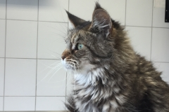 Main-Coon-1
